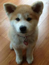 Japanese Akita Inu Puppy
