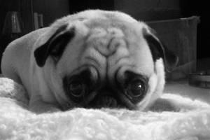 Pug Peddler