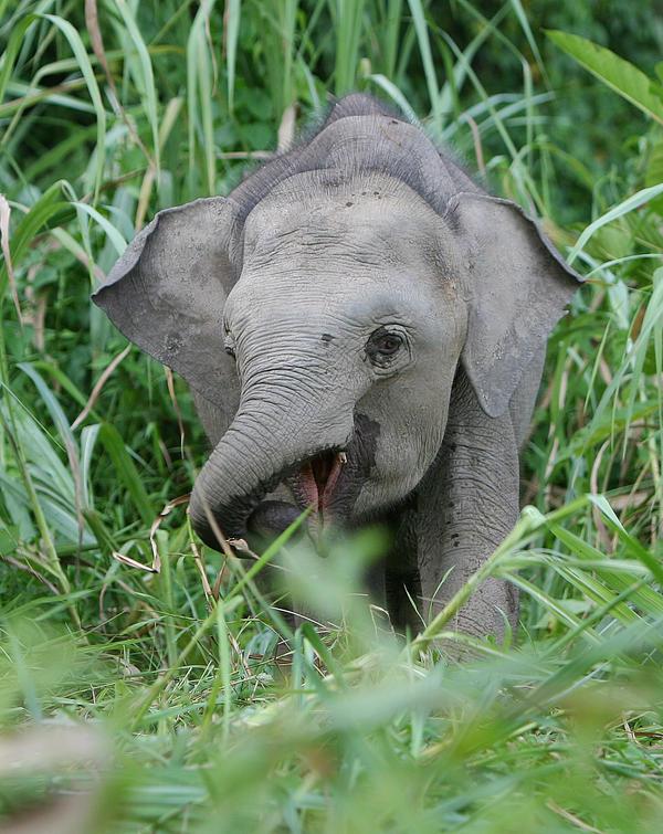 Pygmy Elephant  2 by kontiki1