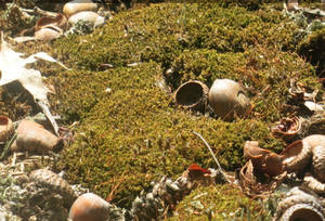 Moss with Acorn Shells