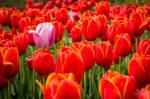 Nonconformist Tulip