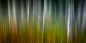 Aspen Forest at Twilight (Abstract)