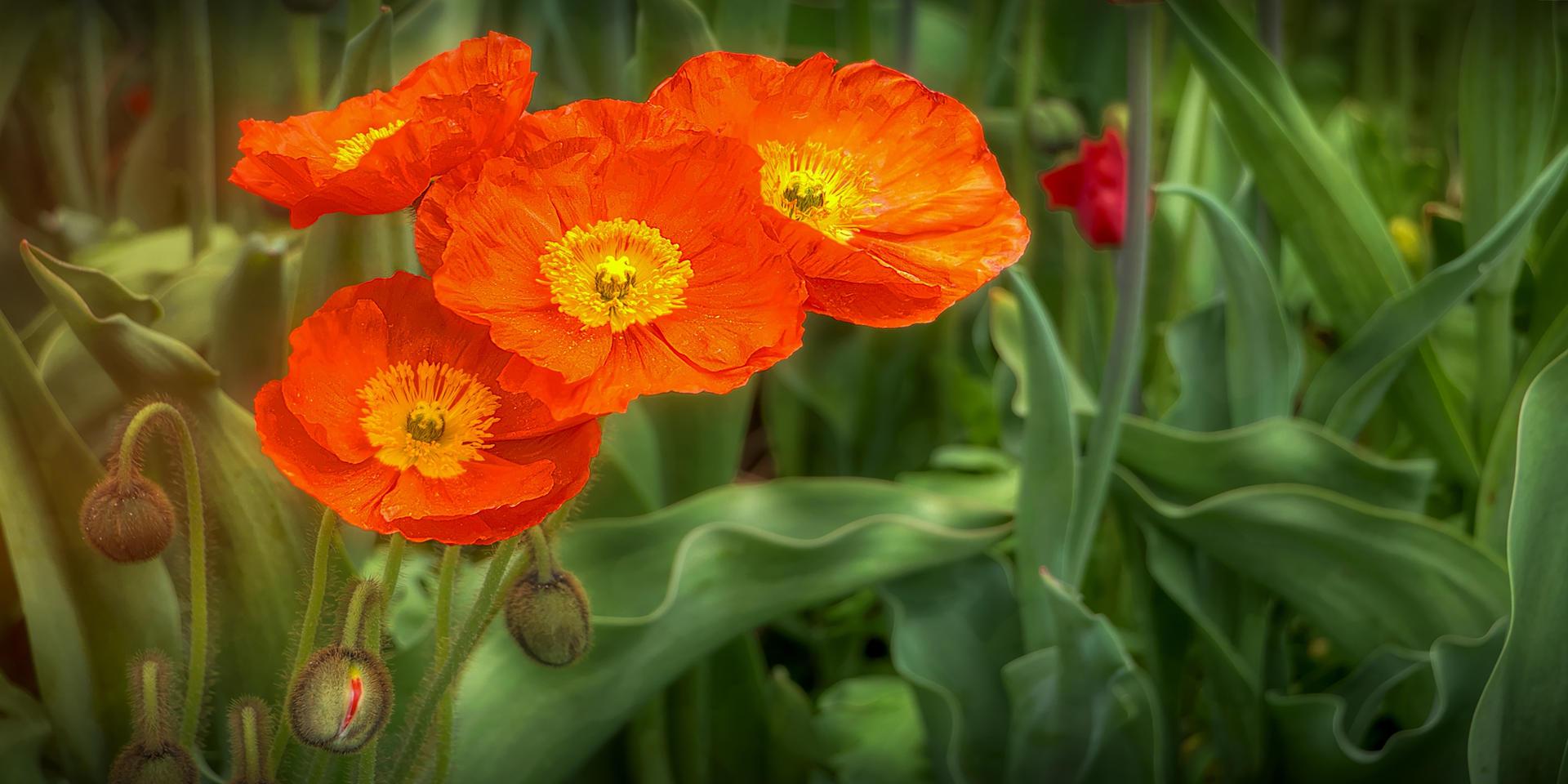 Poppy Passions