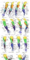 Anatomy - Human Arm Muscles