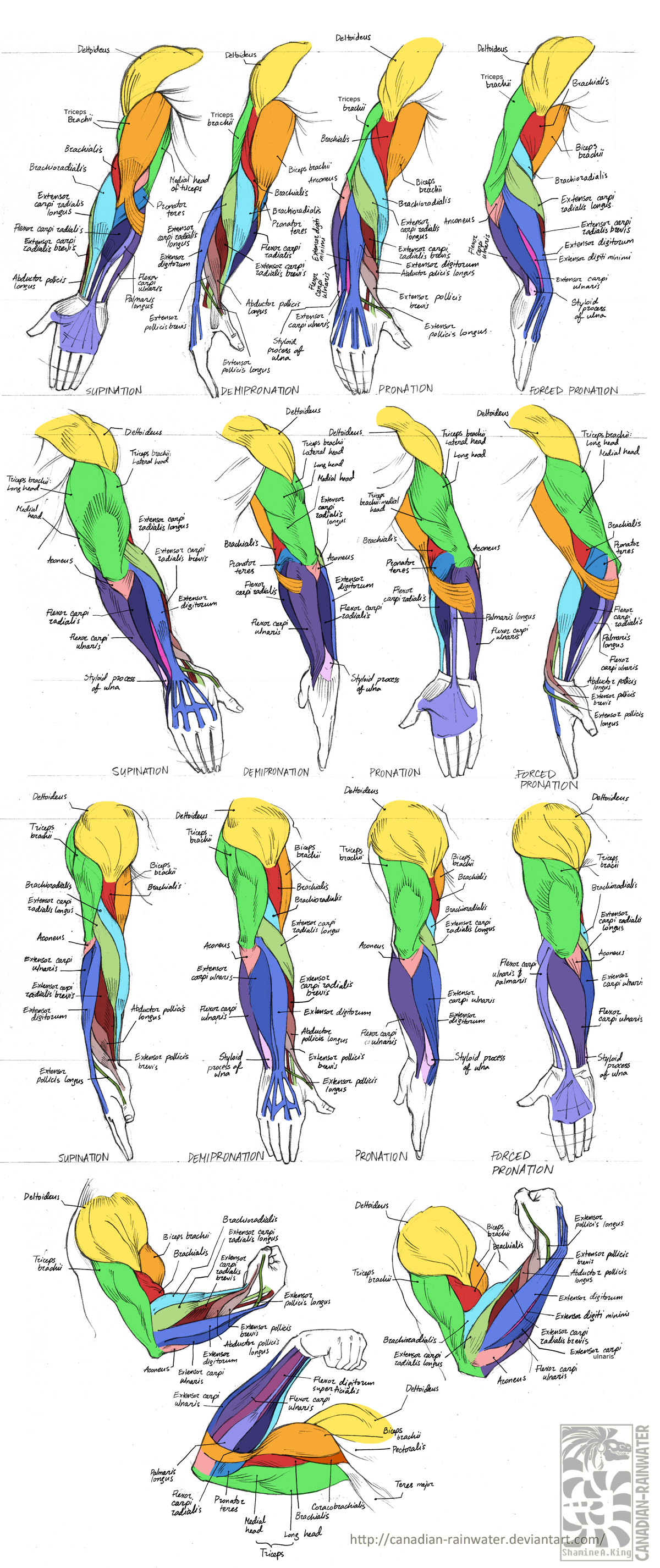 anatomy - human arm muscles by quarter-virus on deviantart, Muscles