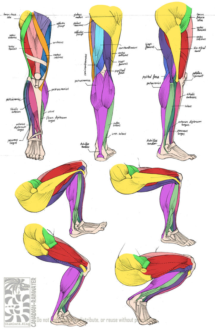 Anatomy - Leg Muscles by Quarter-Virus on DeviantArt