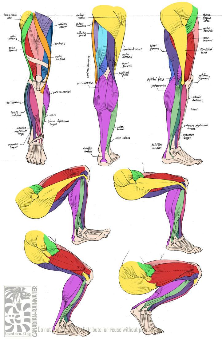 Anatomy - Leg Muscles by Quarter-Virus
