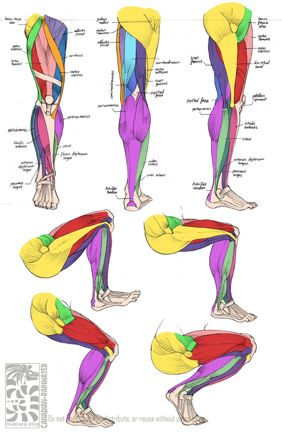 anatomy - leg muscles by quarter-virus on deviantart, Muscles