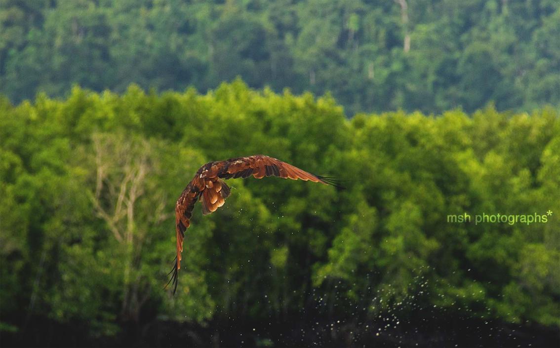 Eagle by ShawMoe