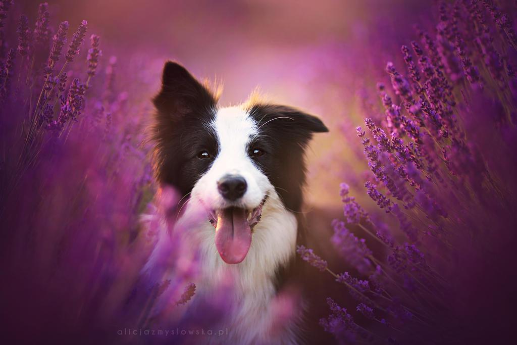 Lavender Dream by feanutri