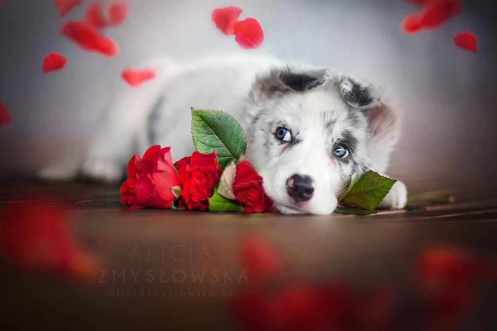 Valentine's Puppy! by feanutri