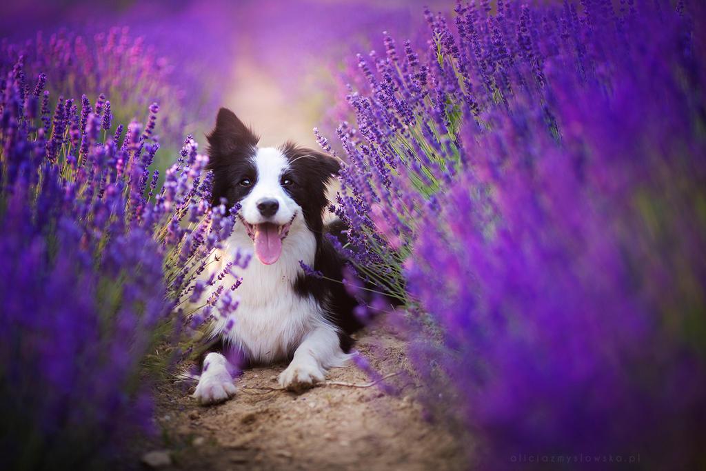 Lavender by feanutri