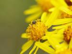 Perapion violaceum. ( knitted bug )
