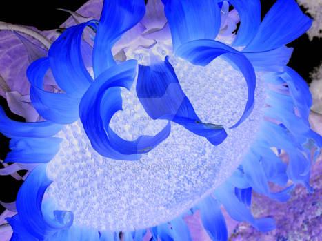 Blue sun flower