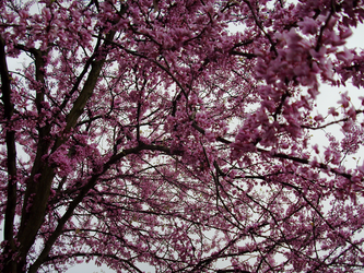 Tennessee -- Redbud Blossoms by Kharybdis01