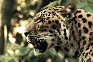 Leopard III by Schoelli