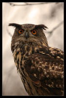 Eagle Owl VI by Schoelli