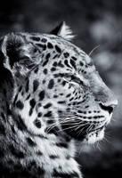 Leopard VII by Schoelli