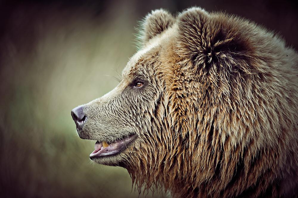 Brown Bear II by Schoelli