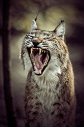 Luchs XIII by Schoelli