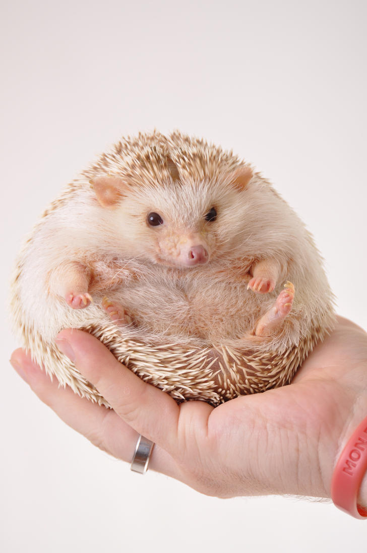 Hedgehogs For Sale In Nc
