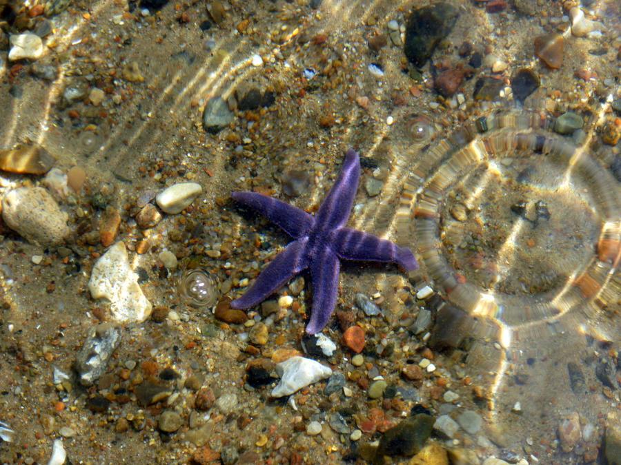 Starfish by Lionpelt-66