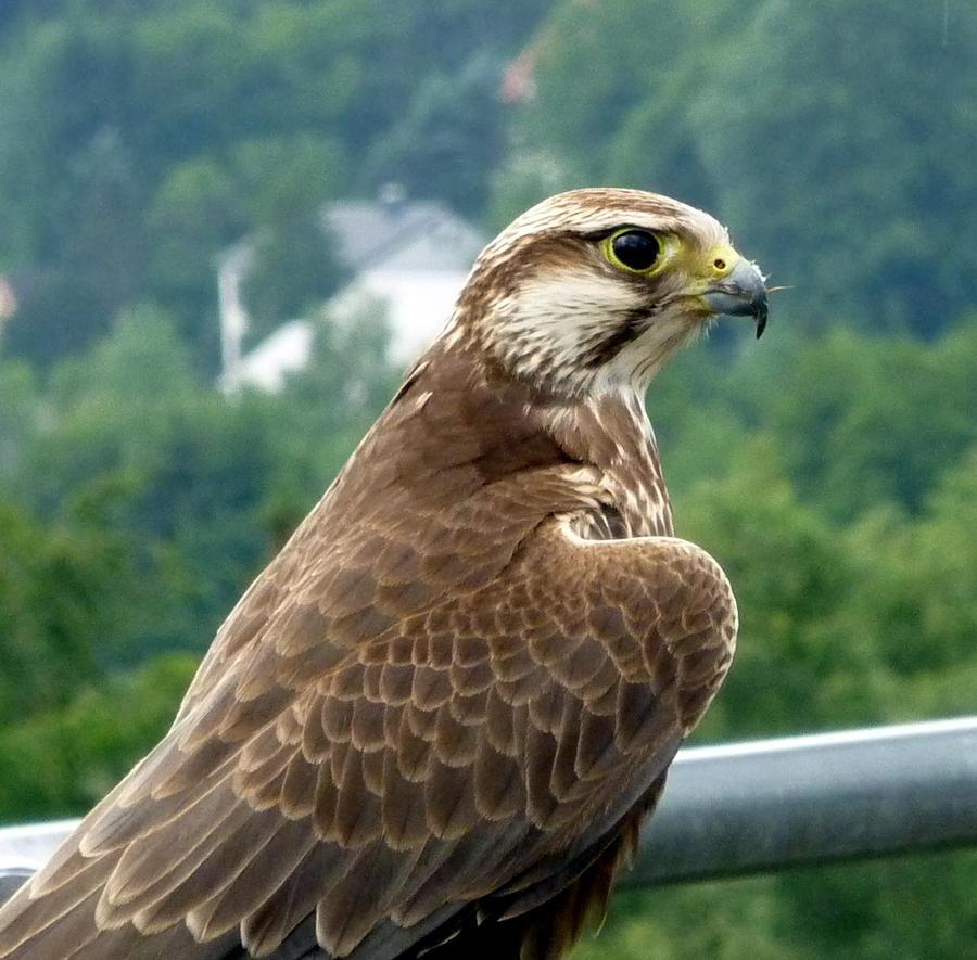 Falcon by Lionpelt-66