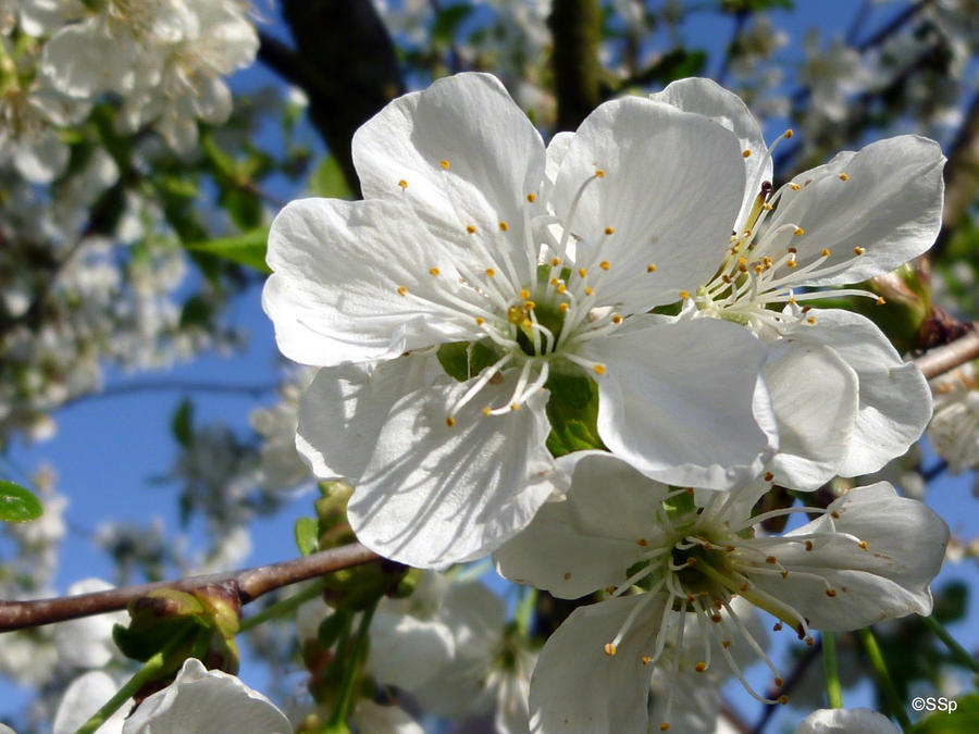 Cherry tree by Lionpelt-66