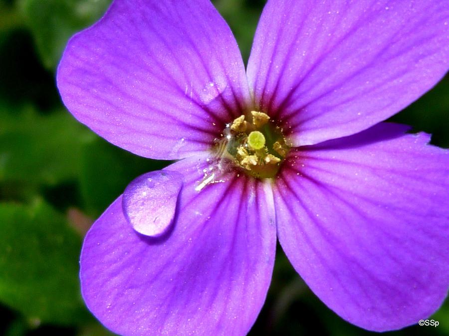 purple flower by Lionpelt-66