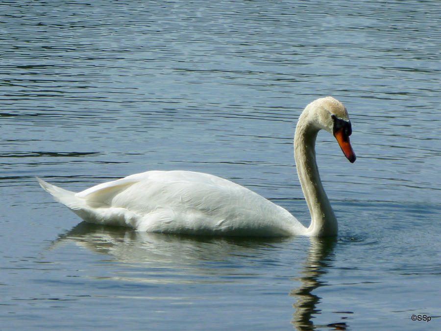 Swan by Lionpelt-66