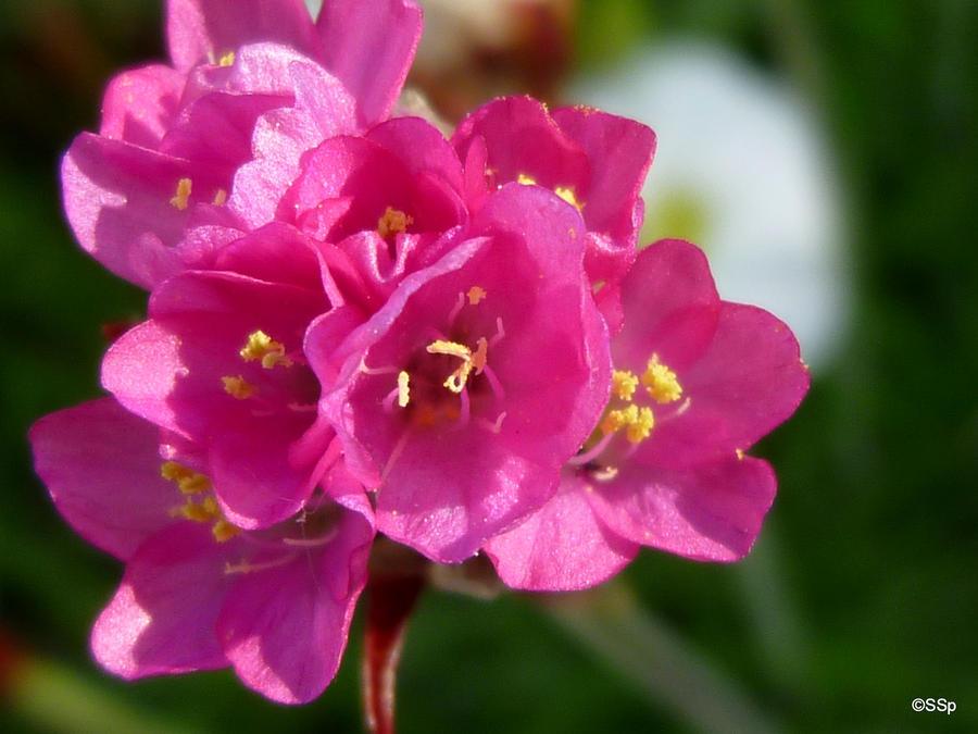 pink flower by Lionpelt-66