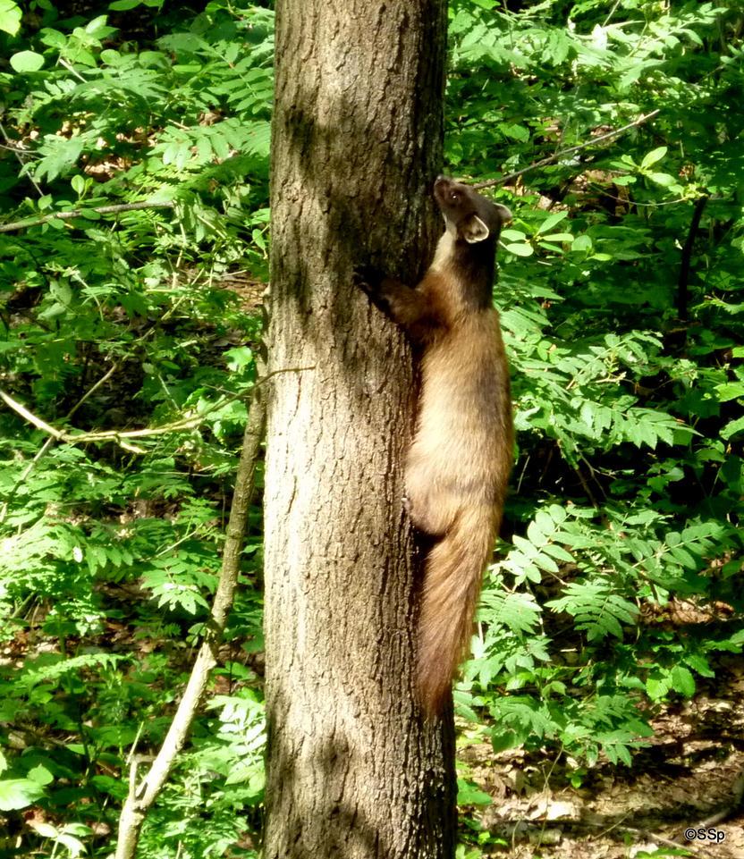 Pine marten by Lionpelt-66