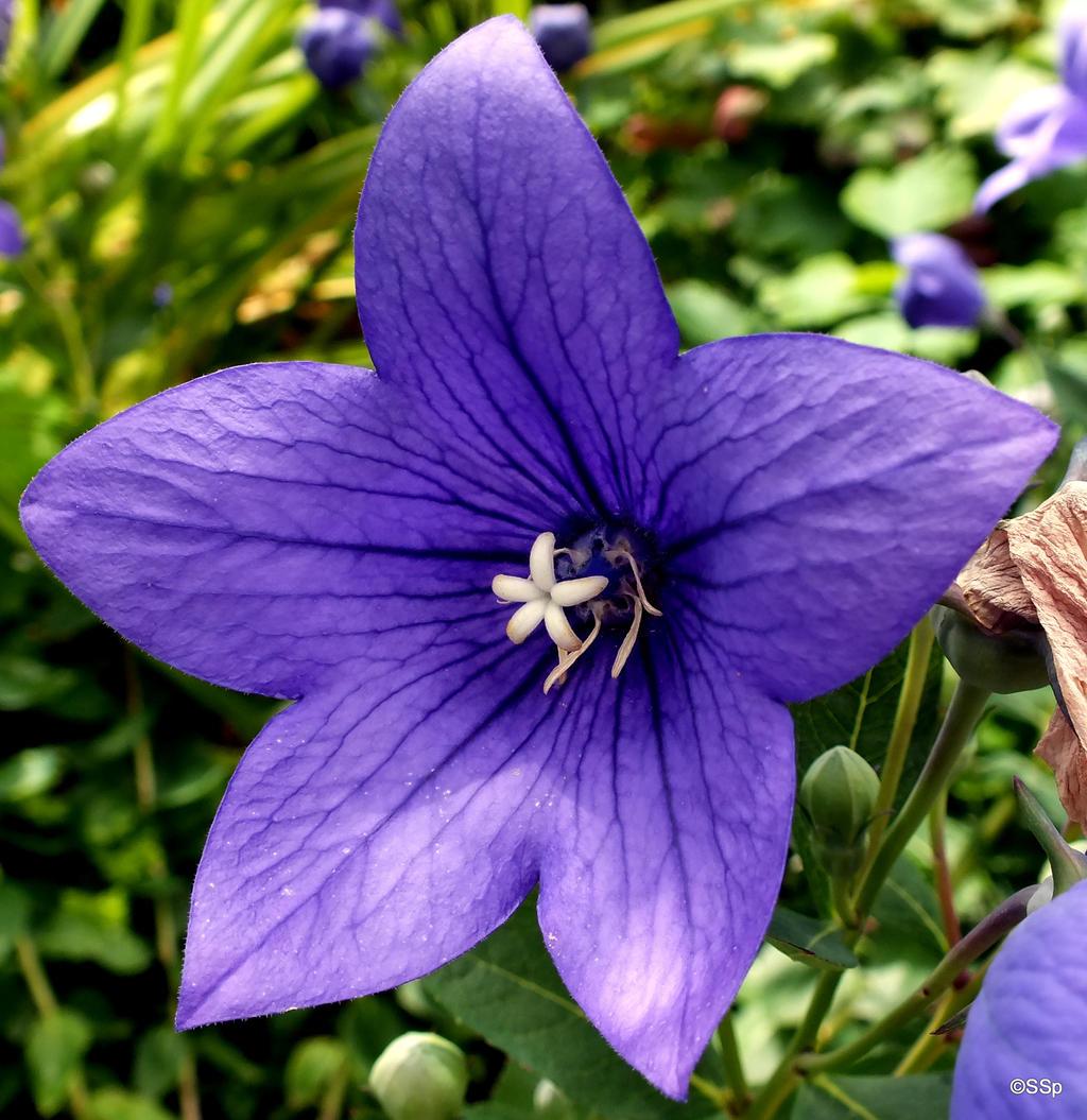 Purple Star by Lionpelt-66