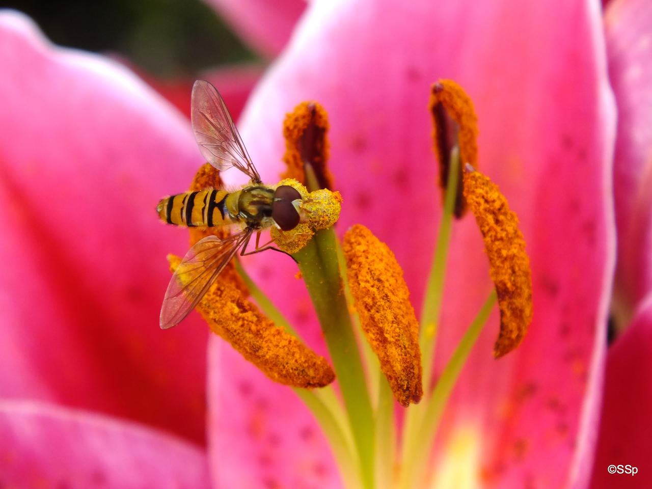Hoverfly by Lionpelt-66