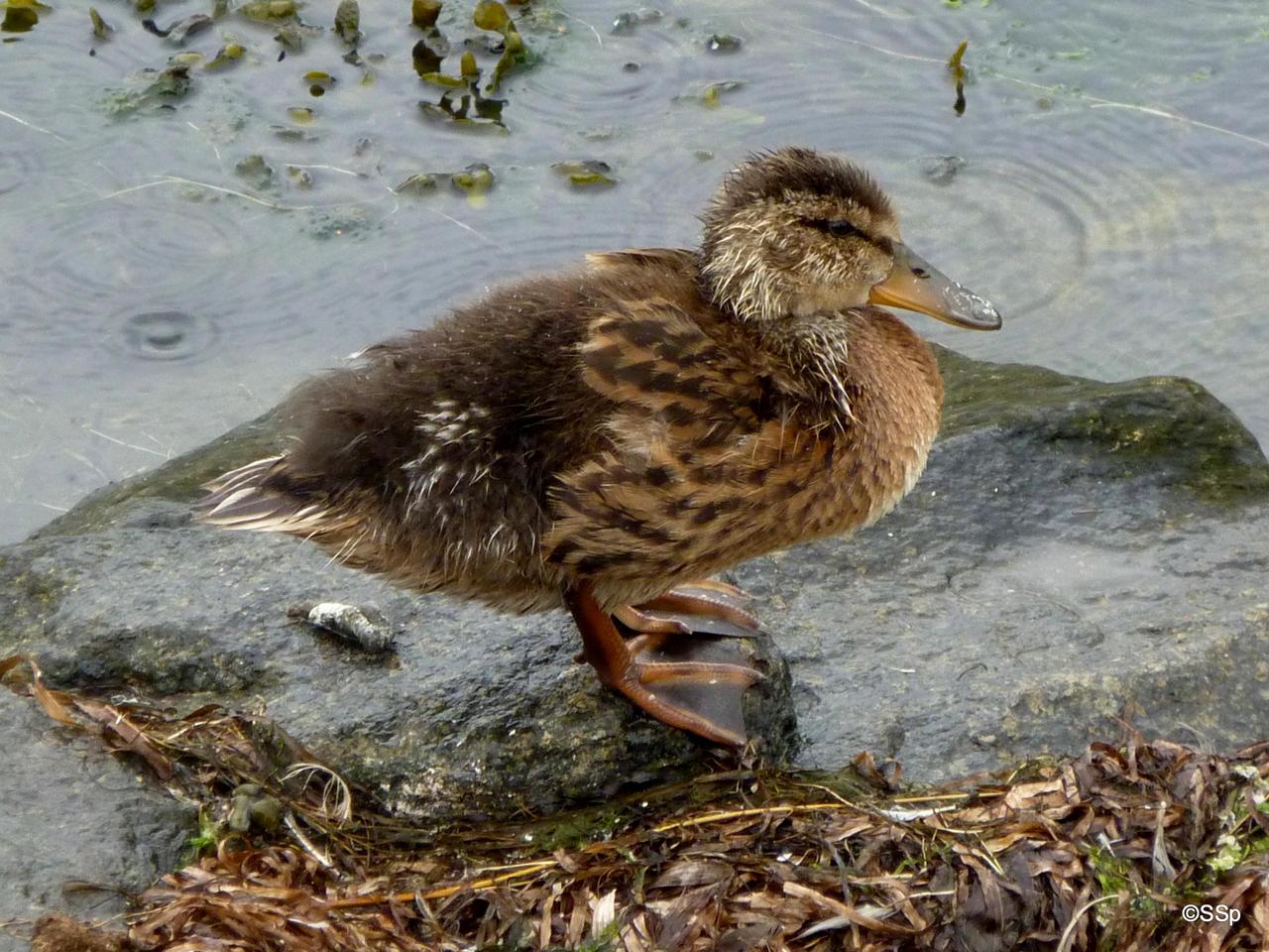 Wet duck by Lionpelt-66