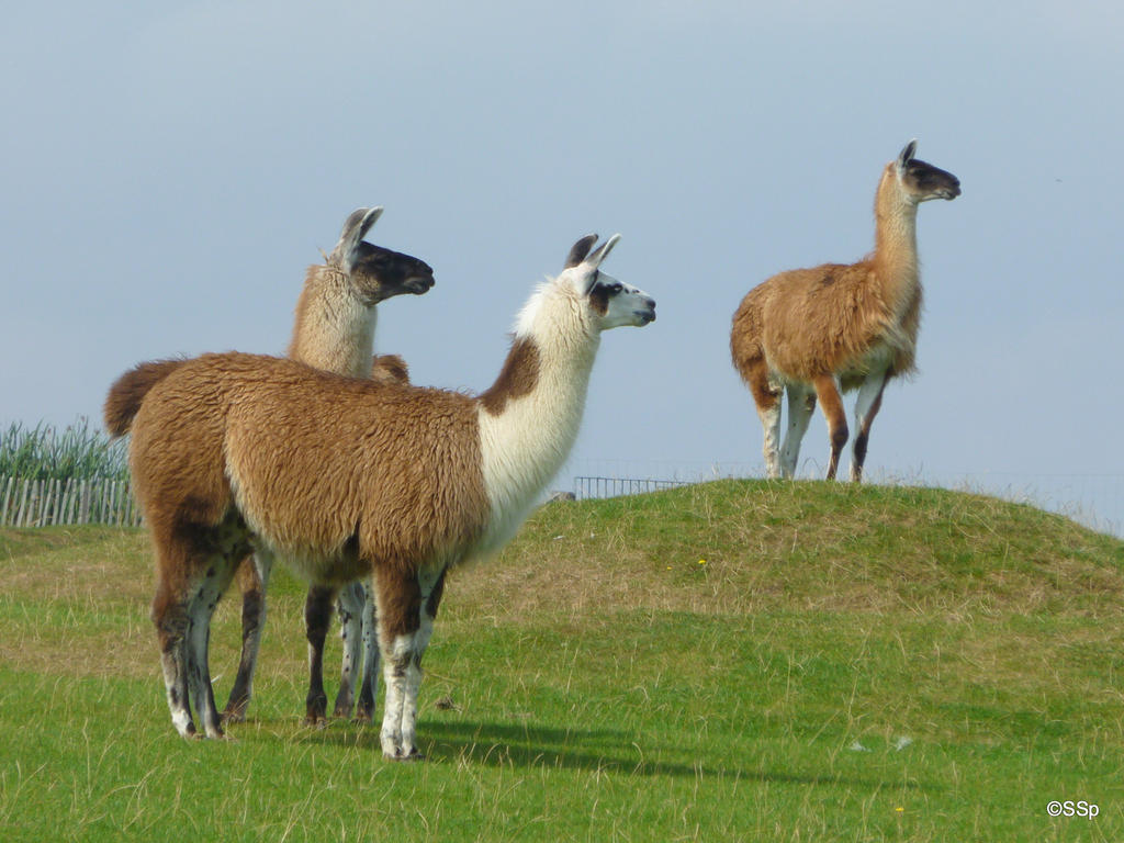 Llamas are not amused by Lionpelt-66