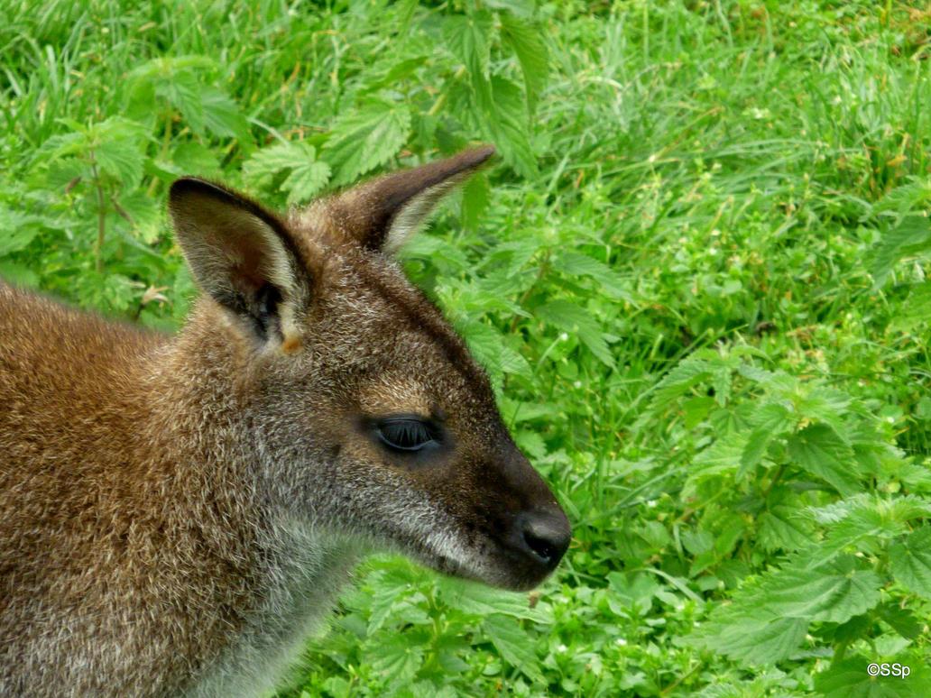 kangarooooo by Lionpelt-66
