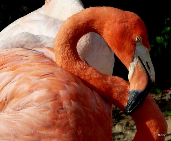 Flamingo by Lionpelt-66