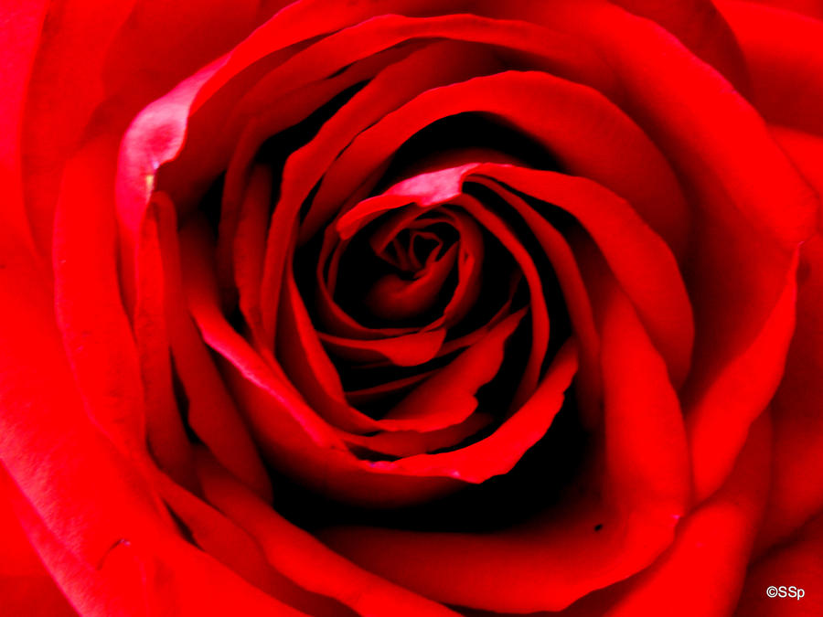 Rose by Lionpelt-66