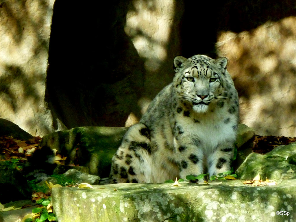 Big kitty by Lionpelt-66