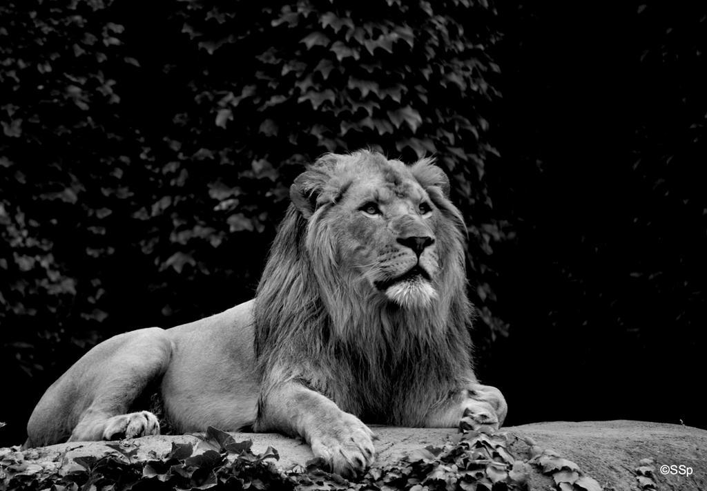 Panthera Leo by Lionpelt-66