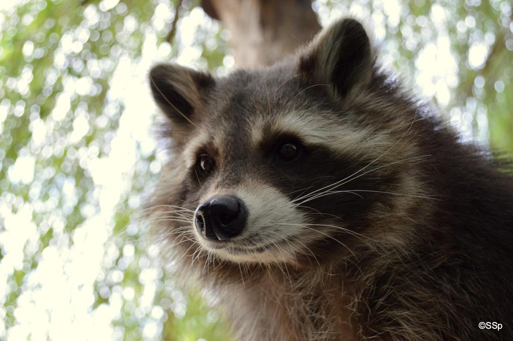 Mr.Raccoon by Lionpelt-66