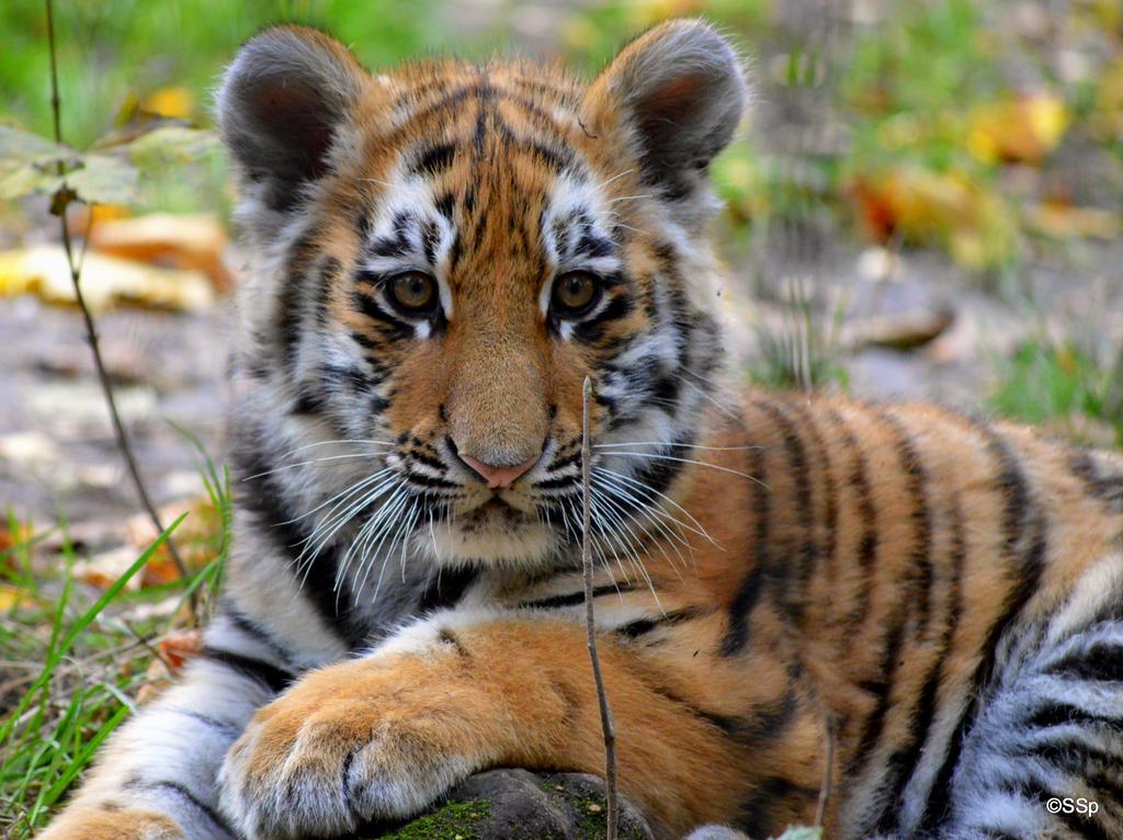 Lil tigger by Lionpelt-66