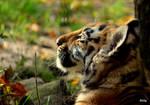 Profile of a Tiger