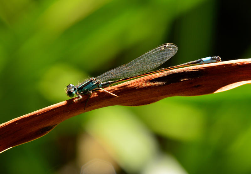 Blue Dragonfly by Lionpelt-66