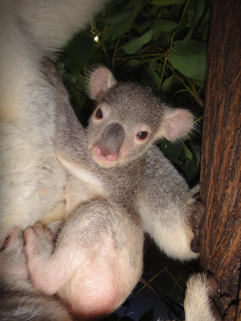 koala baby by bex-nelNewborn Koala
