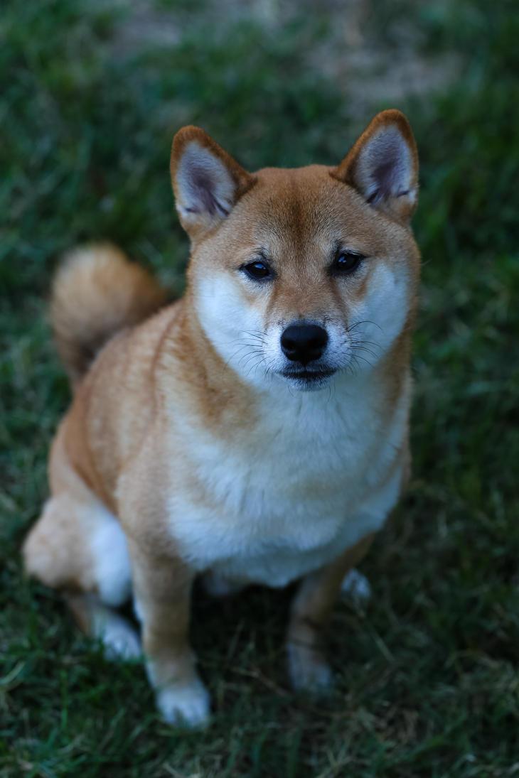 Azuki the Dog by wonderflex