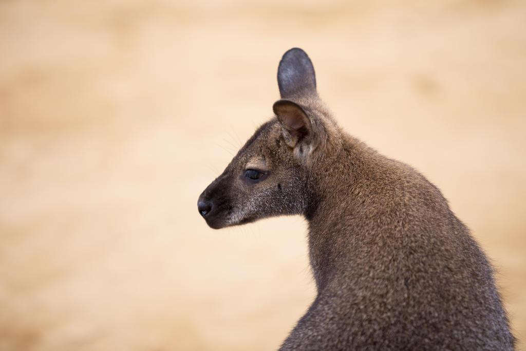 Wallaby by wonderflex
