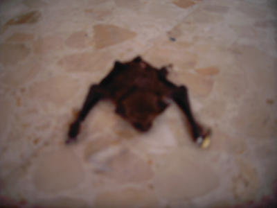 dead bat by Ferkvin