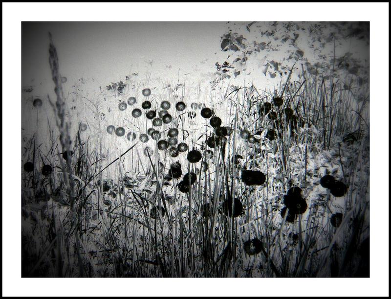 Pissenlit Noir.. by Yaksss